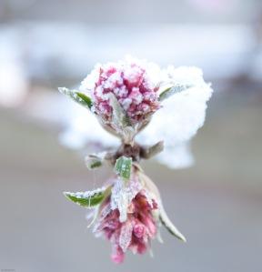 Snow on Viburnum