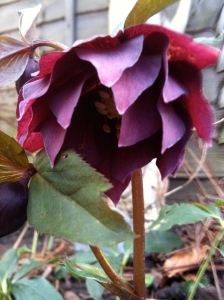 Hellebore 'Double Ellen' Red