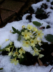 Primroses in the snow