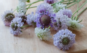 Scabious 2